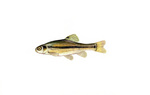 Clipart Image Illustration of a Fathead Minnow (Pimephales promelas)
