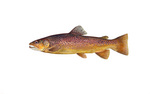 Clipart Image Illustration of a Brown Trout Fish (Salmo trutta)
