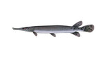 Clipart Image Illustration of a Shortnose Gar Fish (Lepisosteus platostomus)