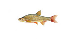 Clipart Image Illustration of a Golden Shiner Fish (Notemigonus crysoleucas)