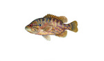 Clipart Image Illustration of a Warmouth Fish (Lepomis gulosus)