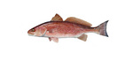 Clipart Image Illustration of a Red Drum Fish (Sciaenops ocellata)