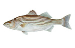 Clipart Image Illustration of a Striped Bass Fish (Morone saxatilis)