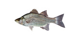 Clipart Image Illustration of a White or Sand Bass Fish (Morone chrysops)