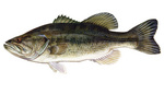 Clipart Image Illustration of a Largemouth Bass Fish (Micropterus salmoides)