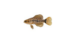 Clipart Image Illustration of a Pygmy Sunfish (Elassoma sp)