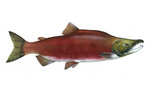 Clipart Image Illustration of a Sockeye Salmon Fish (Oncorhynchus nerka)