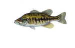 Clipart Image Illustration of a Suwannee Bass Fish (Micropterus notius)