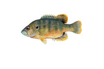 Clipart Image Illustration of a Green Sunfish (Lepomis cyanellus)
