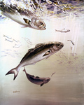 Clipart Image Illustration of Bluefish Chasing and Feeding Off of Smaller Fish