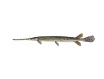 Clipart Image Illustration of a Longnosed/Longnose Gar Fish (lepisosteus osseus)