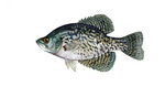 Clipart Image Illustration of a Black Crappie Fish (Pomoxis nigromaculatus)