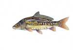 Clipart Image Illustration of a Mirror Carp Fish (Cyprinus carpio)